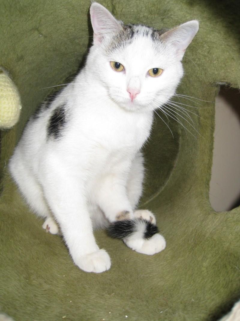 MELODIE - 2 ans - Femelle blanche et marbrée marron Img_1816