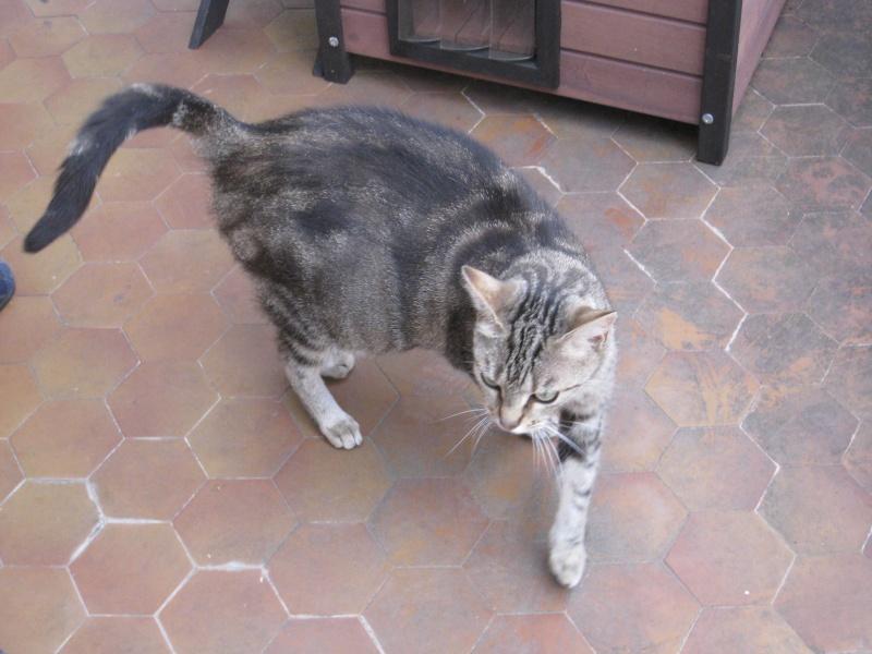 BENNIE - 6 ans - Femelle marbrée gris/marron Img_2917