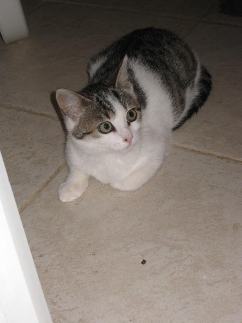 MILADY - 5 mois - Femelle tigrée gris/marron & blanc Img_2918
