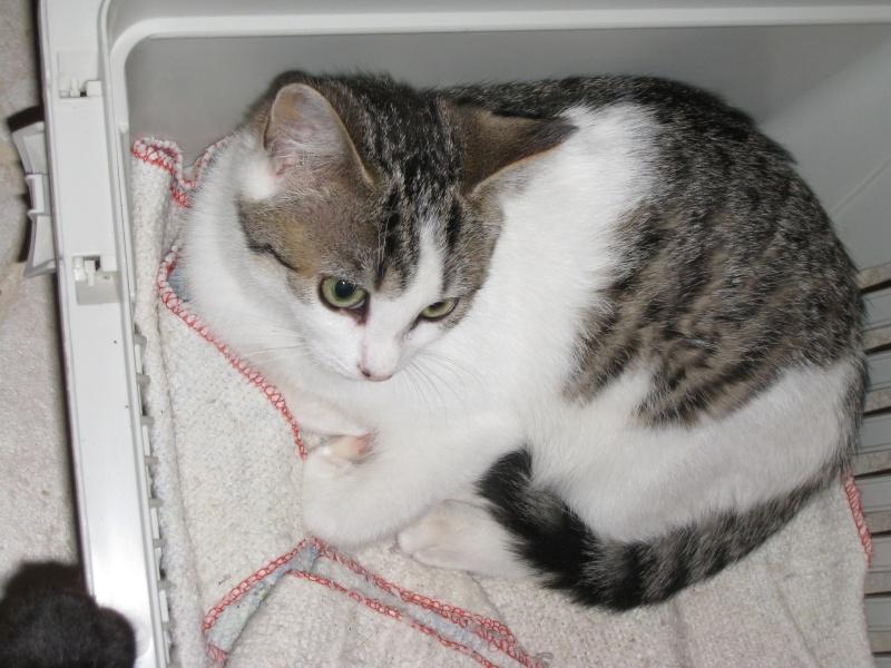 MILADY - 5 mois - Femelle tigrée gris/marron & blanc Img_2919