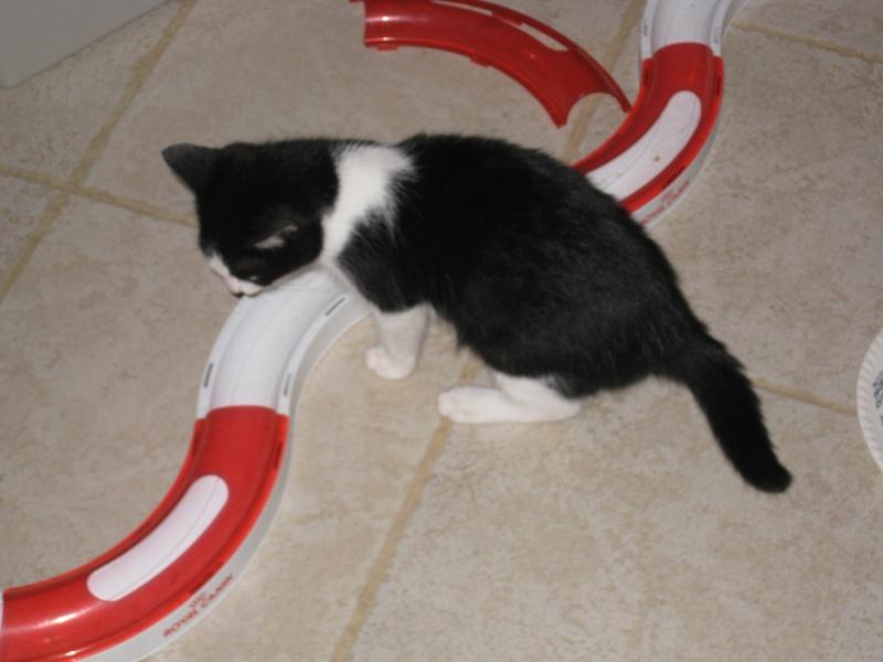 HERMES - 2 mois - Femelle noire & blanche Img_3015