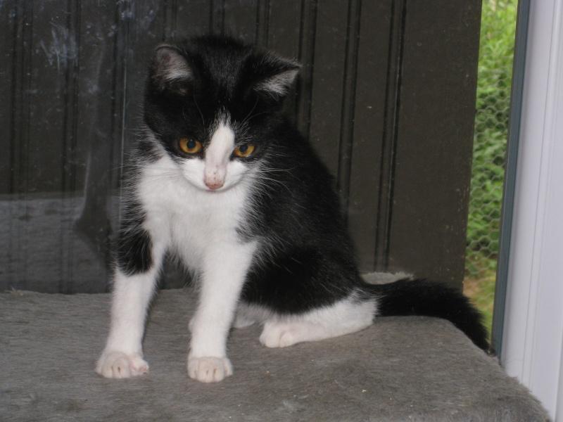 HERMES - 2 mois - Femelle noire & blanche Img_3016