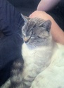 perdu chat secteur beaucroissant 53417810