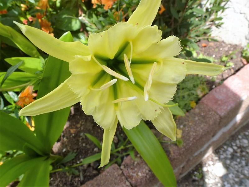 Les premieres floraisons de l'été au jardin P1030018