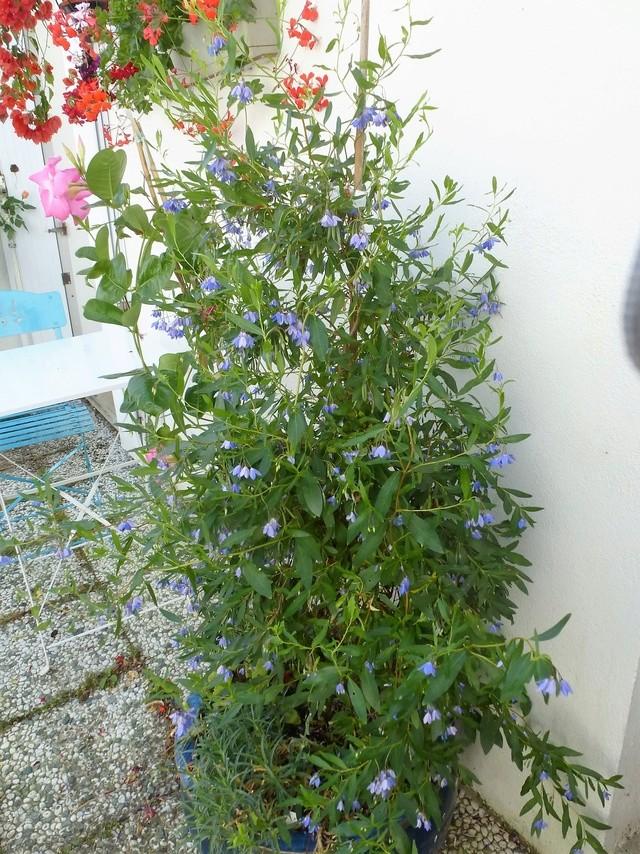 billardiera - Billardiera heterophylla (= Sollya heterophylla) P1030114