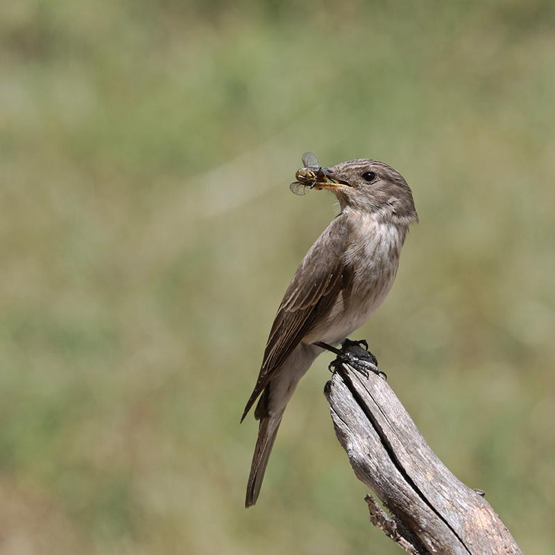 Oiseaux en Corse Img_7117