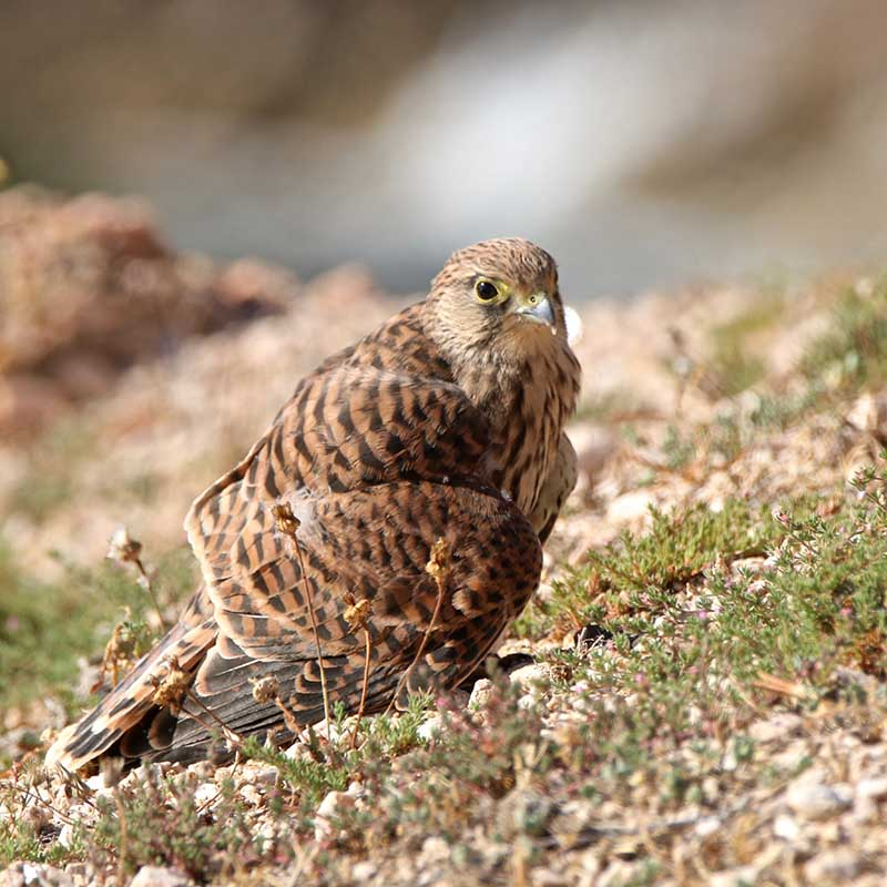 Oiseaux en Corse - Page 2 Img_7811
