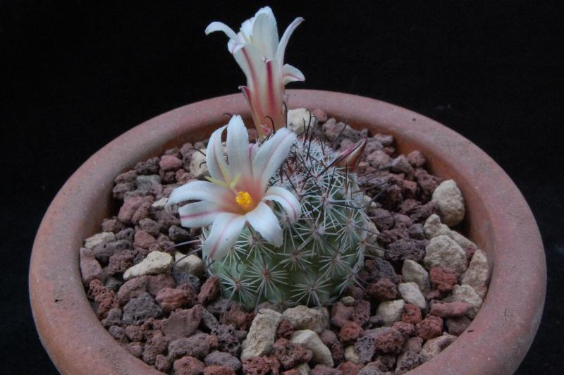 Mammillaria dioica -2016011