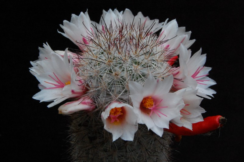 Mammillaria albicans 1607-210