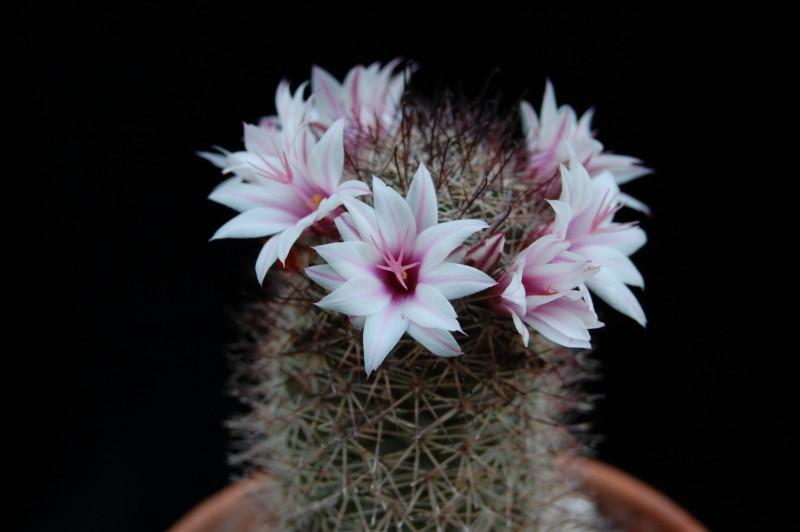 Mammillaria fraileana 2612-211