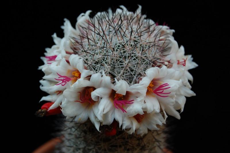 Mammillaria albicans 2622-210