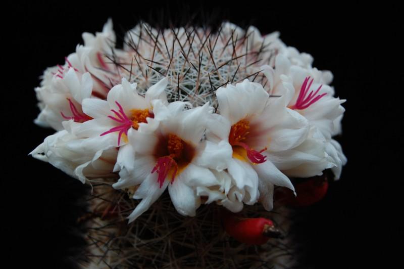 Mammillaria albicans 2622-211