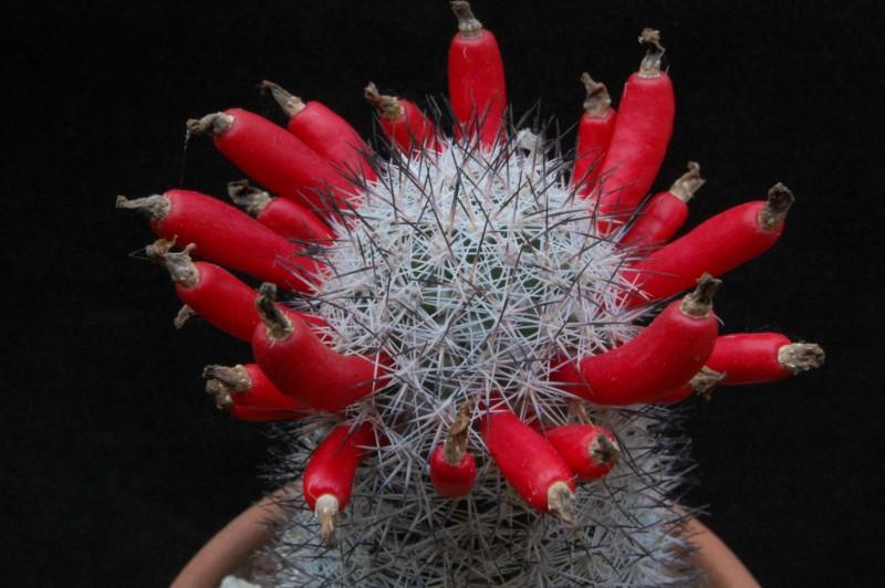 Mammillaria albicans 2622-212