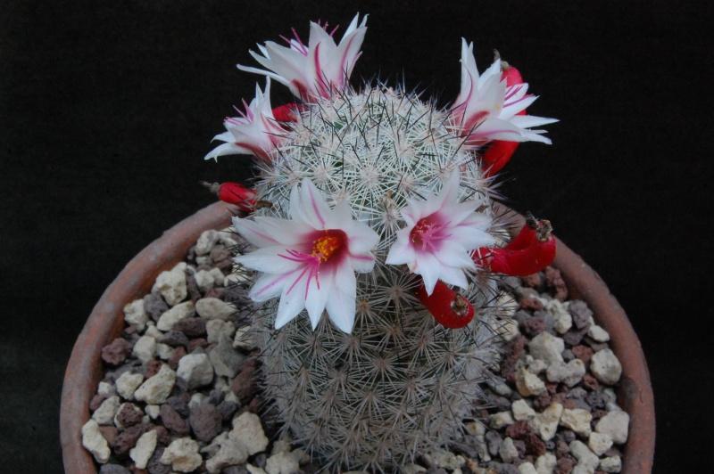 Mammillaria albicans 3282-210
