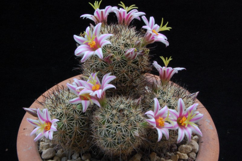 Mammillaria blossfeldiana 3498-210