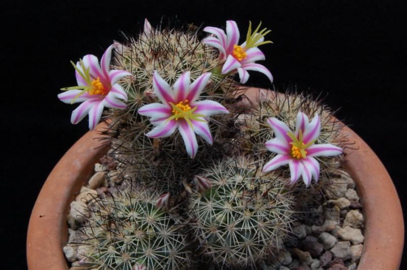 Mammillaria blossfeldiana 3498-211