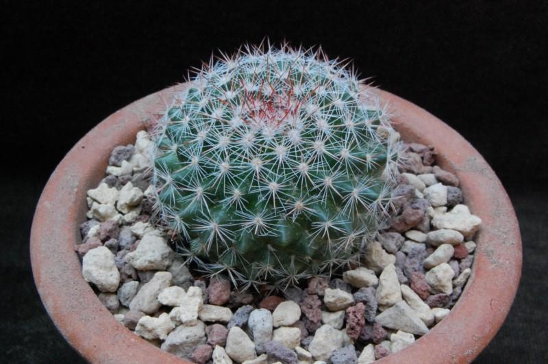 Mammillaria temorisensis 5518-210