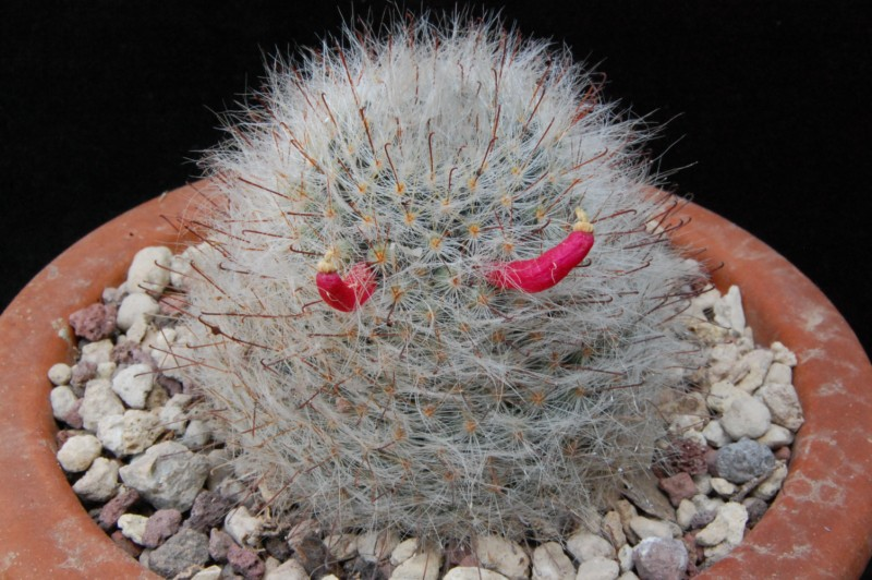 Mammillaria hirsuta 6082-214