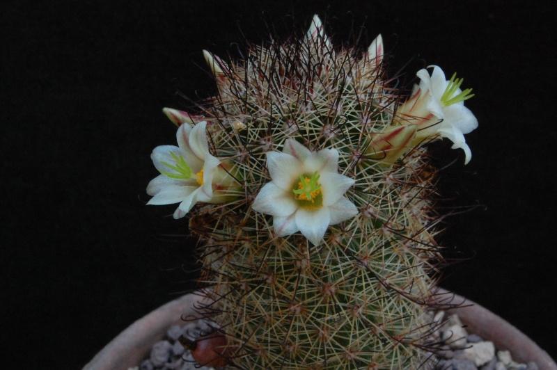 Mammillaria dioica 6518-210