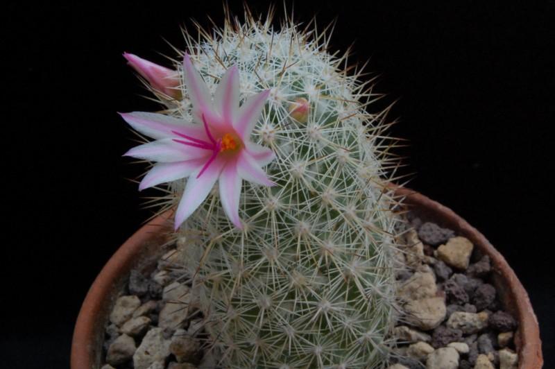 Mammillaria albicans 6522-210