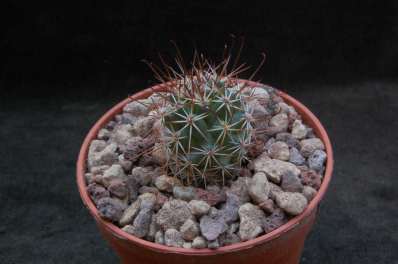 Mammillaria fraileana 7355-210