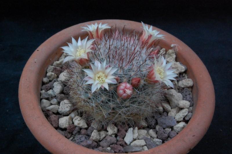Mammillaria mathildae 7368-210