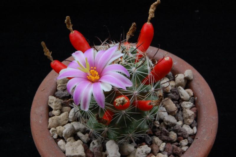 Mammillaria insularis 7384-211