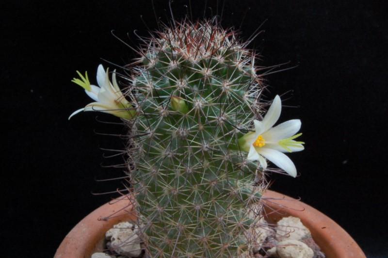 Mammillaria dioica 7516-211