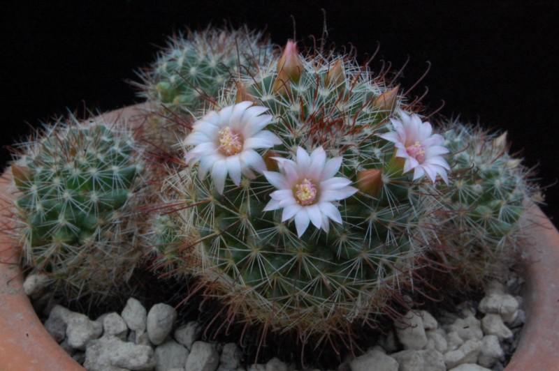 Mammillaria fittkaui 8066-210