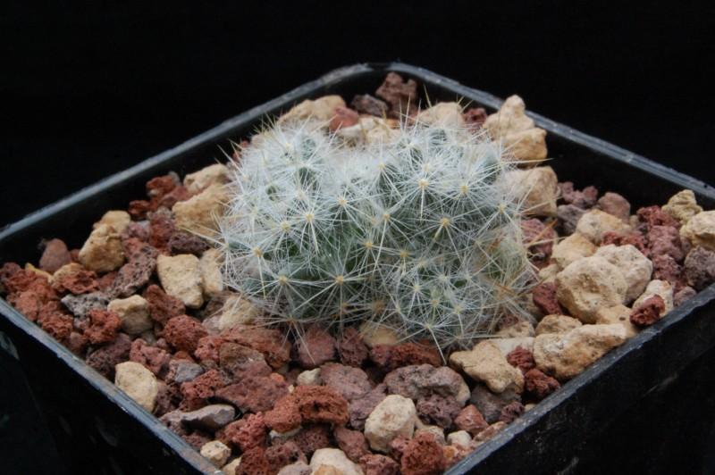Mammillaria prolifera 8140-210