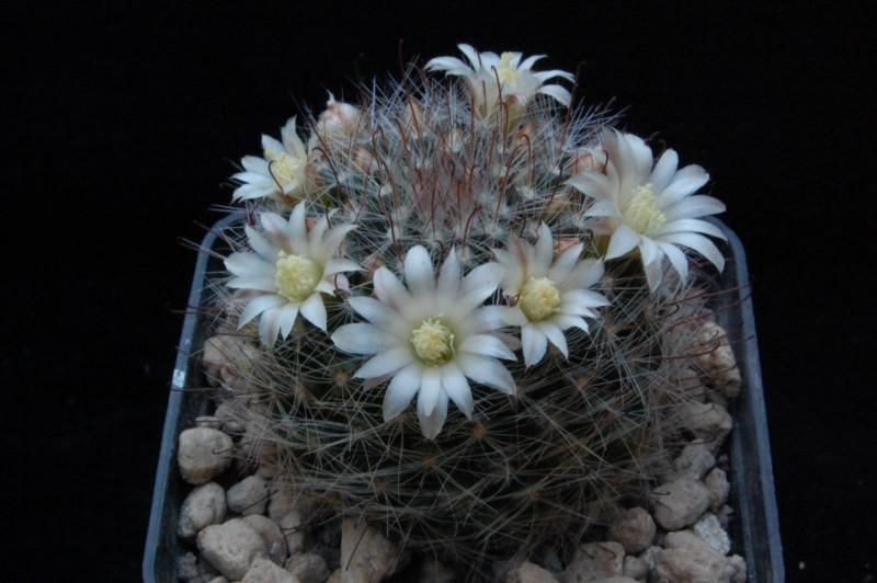 Mammillaria mathildae 8205-213