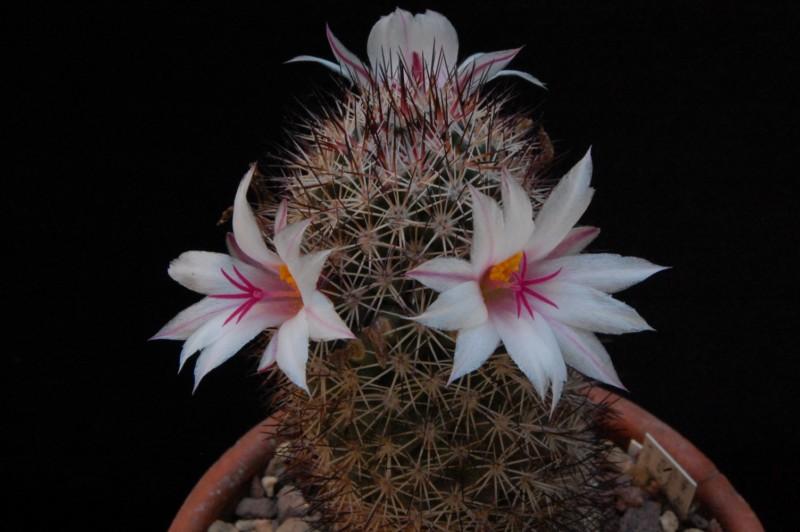 Mammillaria fraileana 8252-210