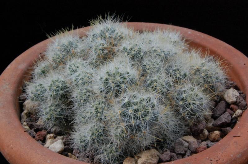 Mammillaria prolifera 8253_c10