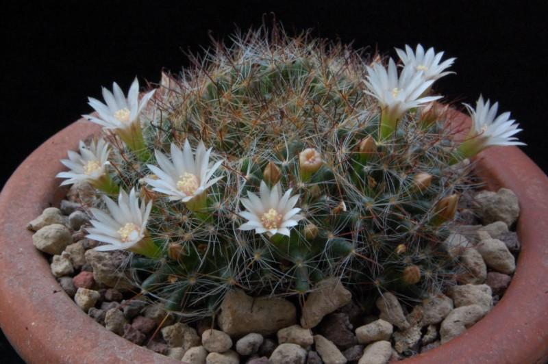 Mammillaria pubispina 8257-210
