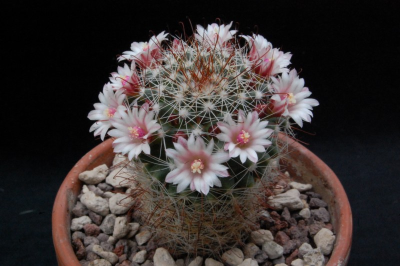 Mammillaria fittkaui 8265-210