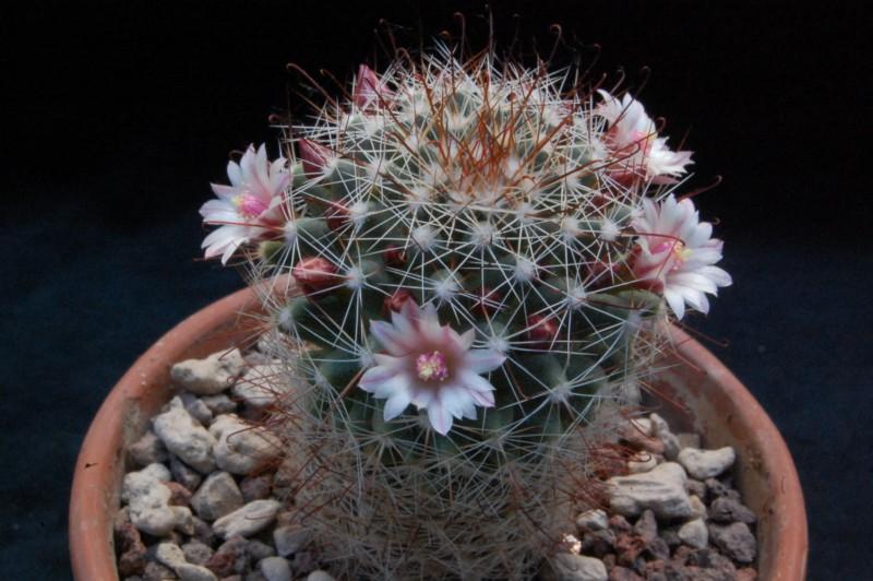 Mammillaria fittkaui 8265-211