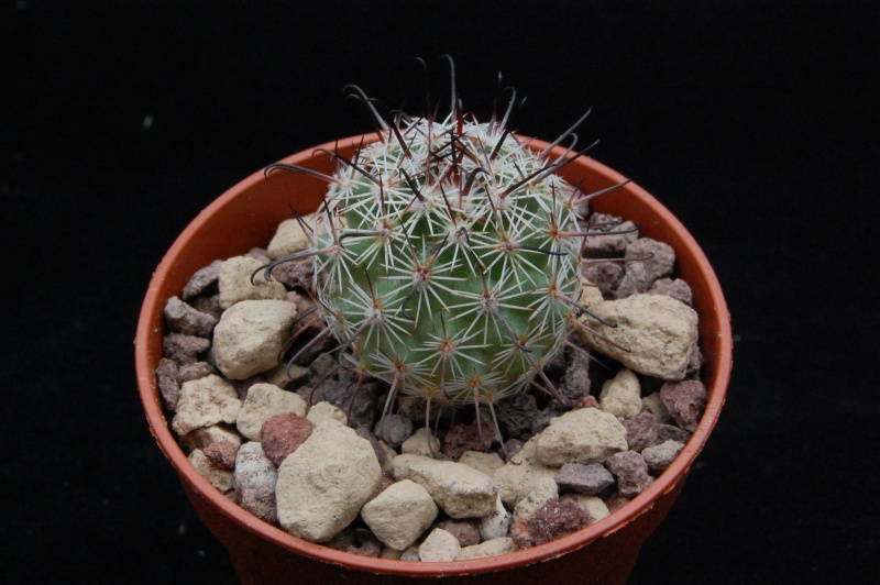 Mammillaria dioica 8642-210
