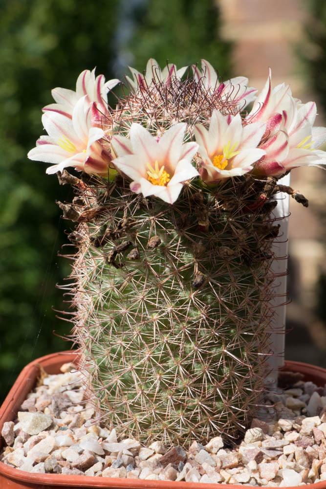 Mammillaria dioica Dioica10