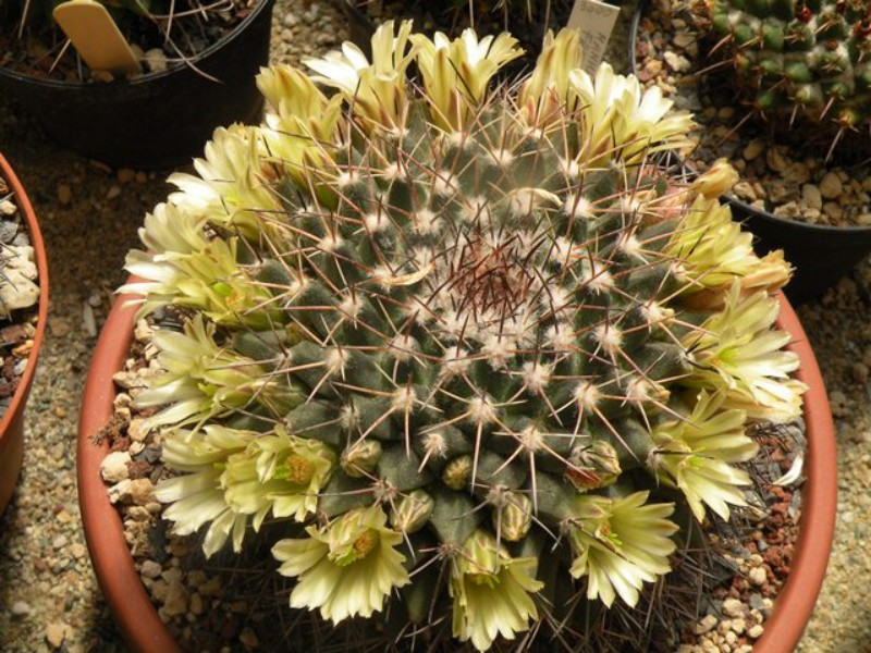 Mammillaria freudenbergeri Freude10