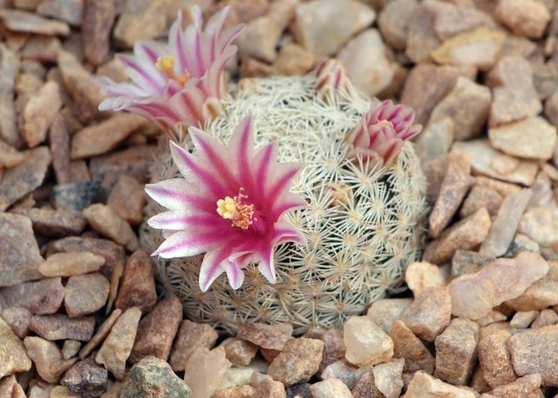 Mammillaria hermosana Hermos10
