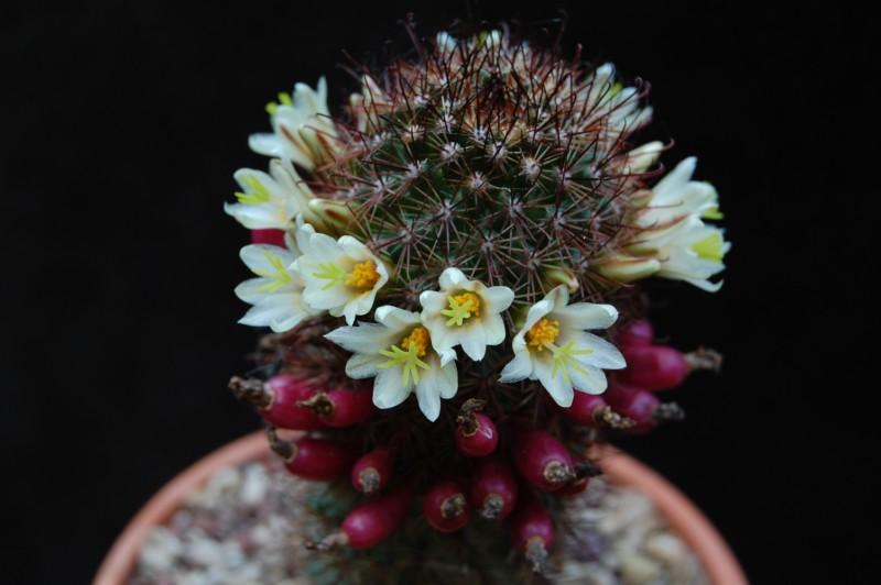 Mammillaria dioica Lau_4410