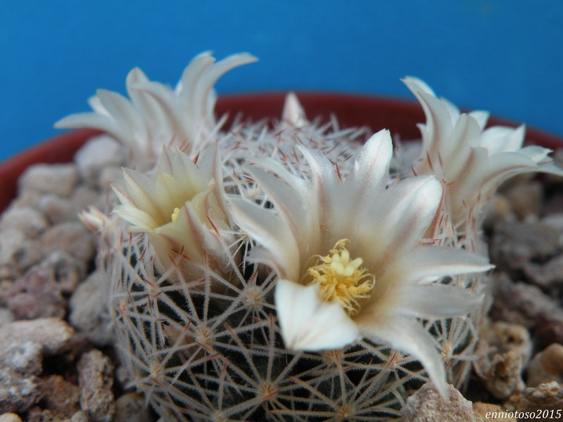 Mammillaria odenhalii Odehna10