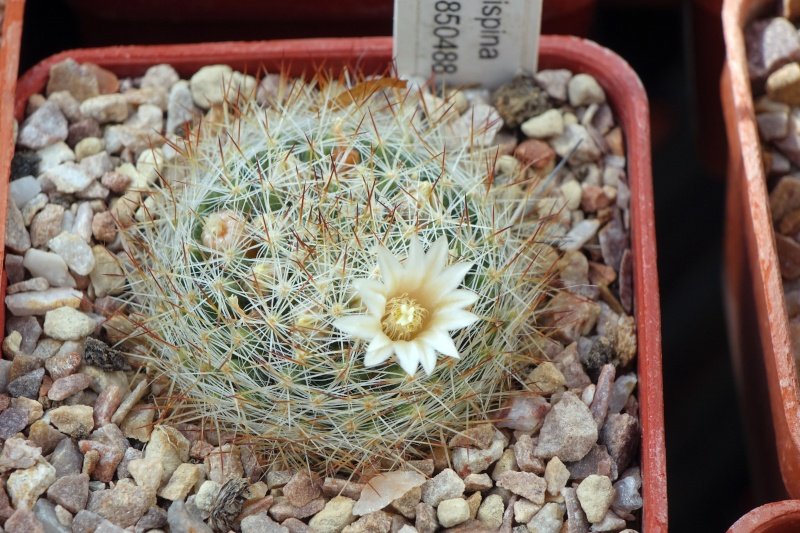 Mammillaria odenhalii Pilisp10
