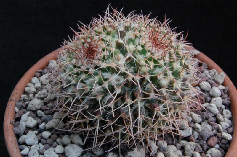 Mammillaria tropica Rep_1310