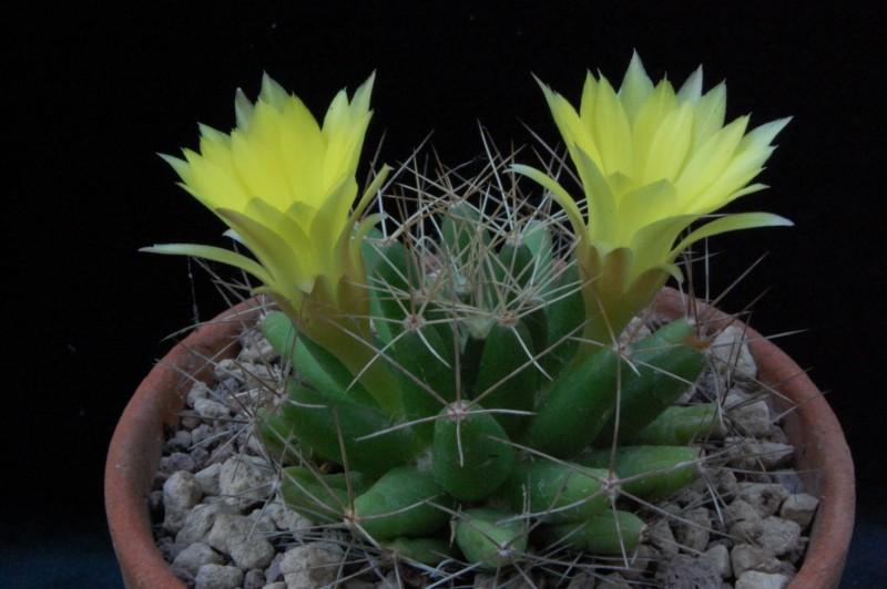 Mammillaria longimamma Rep_2114