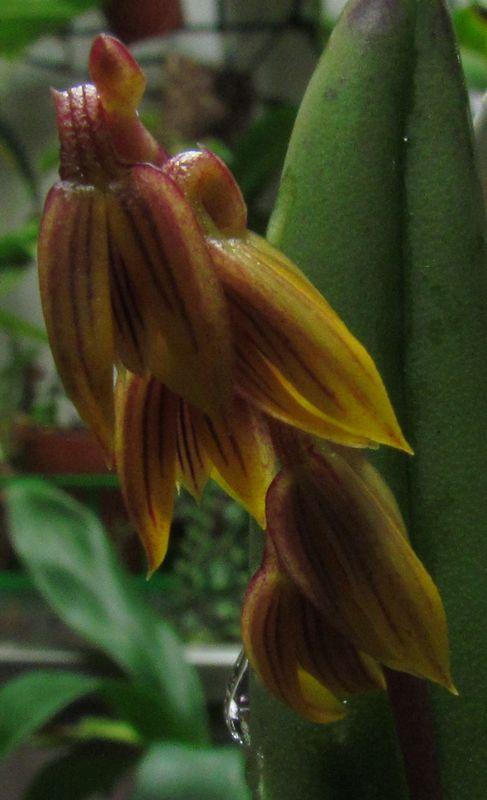 Acianthera teres Img_4215