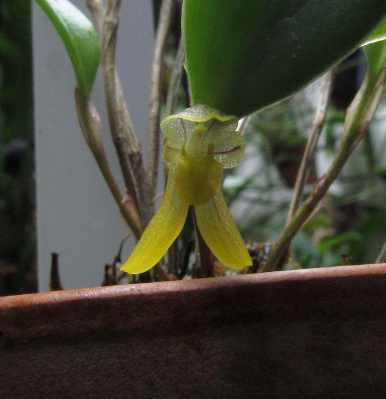 Restrepiopsis inaequalis Img_4220