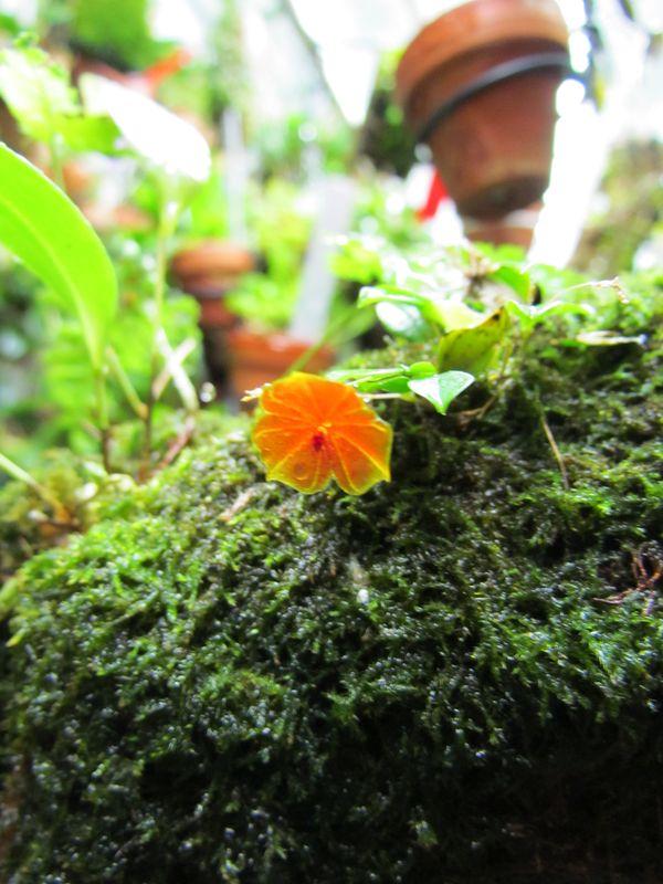 Lepanthes telipogoniflora Img_4319