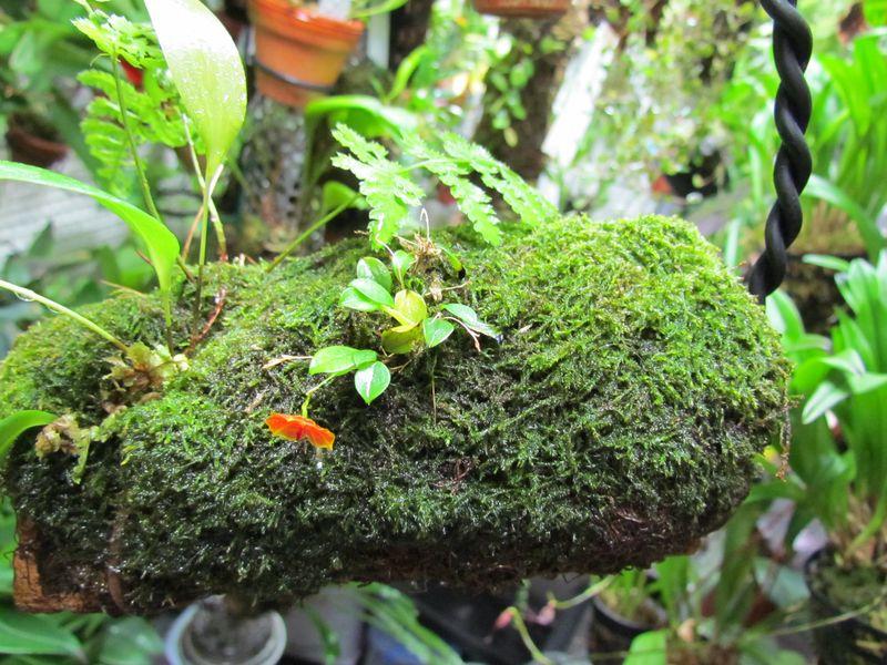 Lepanthes telipogoniflora Img_4320