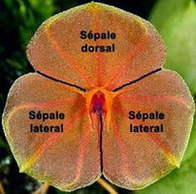 Lepanthes telipogoniflora Lepant10